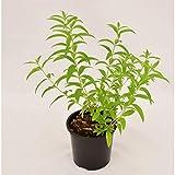 Planta citronela maceta 7 cm