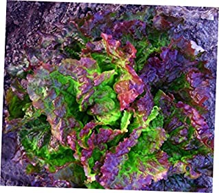 JEY 500 Seeds Prize Head Leaf Lettuce Crisp Sweet Tender - RK138