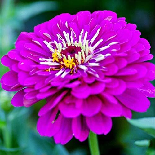 Ferry 50pcs Seltene Zinnia Bonsai Staude Blütenpflanzen Topfgarten-Blumen-Blüte g Chinesische Blumen-Garten-Dekoration: Red