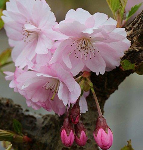 Hochstamm Frühe Zierkirsche 100-125cm - Prunus Accolade