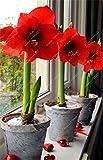 Es cierto Amaryllis Bulbos de la planta de jardín Hippeastrum Bulbos bonsai bulbos de flores Amarilis rizomas Bulbos Barbados Lily maceta - 1 bombilla de 6
