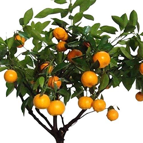 Rosepoem 30 Pcs Fruits comestibles Citrus Orange Tree Graines Plantation Bonsaï Accueil Jardin Plantes