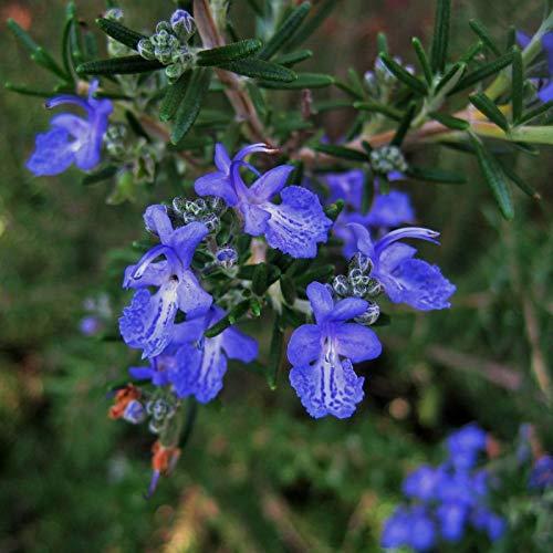 Romarin Commun De Corse (rosmarinus Officinalis 'corsican Blue')