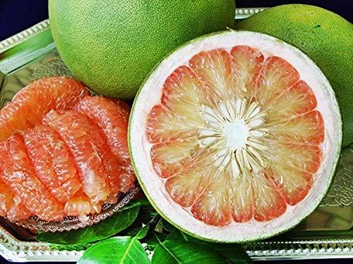 PLAT FIRM Germination Les graines: 10 doux thaïlandais géant orange Graines de fruits rares, Pomelo pamplemousse, Citrus Maxima