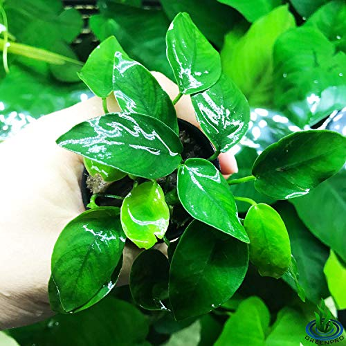Greenpro Anubias Nana Potted Live Aquarium Plant Easy 100% Snail Free Guanteed