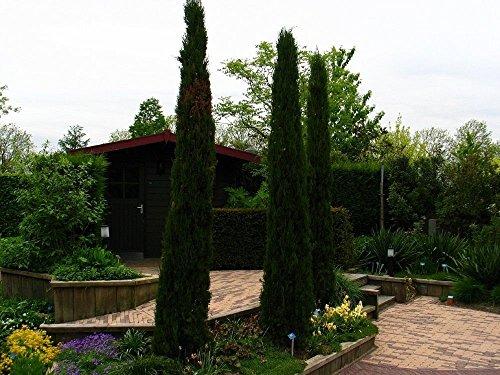Ciprés italiano columnar estrecho, Cupressus sempervirens stricta, 100 semillas de árboles