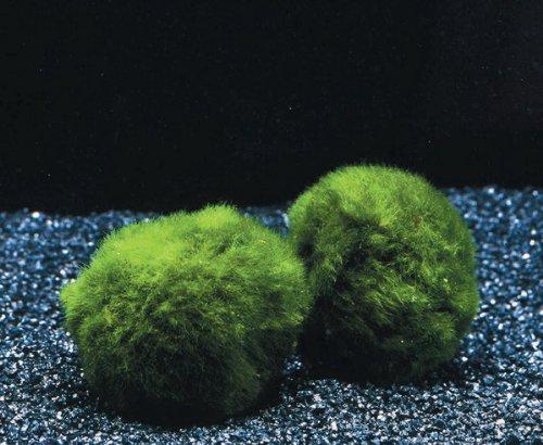 WFW wasserflora Jumbo Mooskugel Größe XXL ab 8 cm/Cladophora aegagropila - Marimo Ball