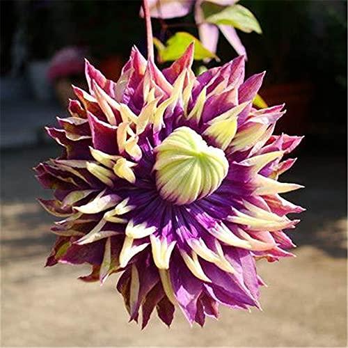 Besondere angenehme Rhizomgeschenke Wunderschöne Wohnkultur Pflanzen Magische Pflanzen-5Clematis Rhizome