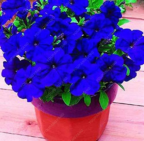 Elitely 100 Stcke Petunie Samen Seltene Farbe Petunie Blumensamen Blau, Rot, Schwarz Mehrj hrige Bonsai Topf Samen Fr Hausgarten Einfach Zu