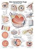 """Lehrtafel""""Das menschliche Auge"""", 50x70cm -"""