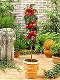 SONIRY 30pcs Manzana Malus domestica Bonsai Enano de Manzanas de árboles Bonsai perennes Plantas en macetas de Interior o al Aire Libre para la Planta casera: Mezclado