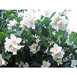 20 Mock Orange Sweet English Dogwood Philadelphus Coronarius Shrub Flower Seeds #DS01