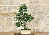 bonsai di quercia - leccio (43)
