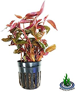 Greenpro Alternanthera Reineckii Potted Live Aquarium Plants Easy Super Red Plants