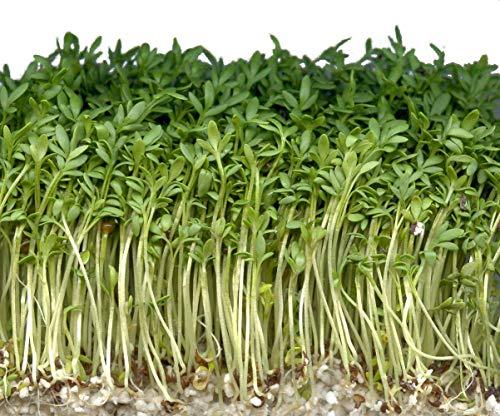 1000 Samen Gartenkresse -Lepidium sativum- -Ganzjährige Aussaat-