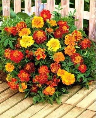 Beautytalk-Garten Bunte Tagetes Blumensamen Bodendecker Wildblumen Bonsai Samen Tagetes Studentenblume winterhart mehrjährig für Balkon/Terrasse/Garten