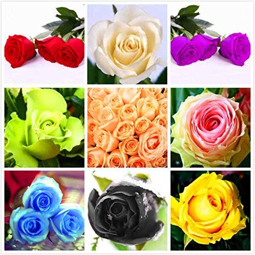Eastbride mehrjährig winterhart Samen,50 Rosensamen, leicht zu pflanzende Blumensamen zu jeder Jahreszeit - Cold Beauty,Samen für Ihr Garten Balkon