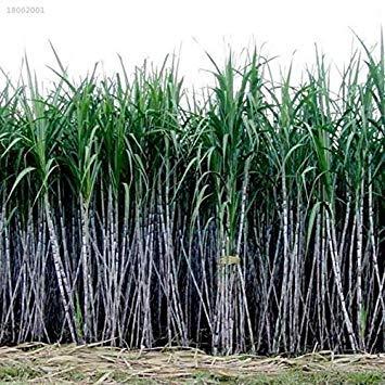 Potseed B4086Ce 1000Pcs / Packung Zuckerrohr Samen Saft Zucker Maker Pflanzgartenpflanzen