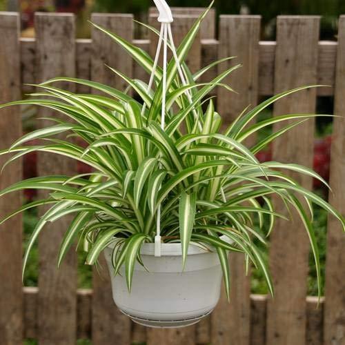 Grünlilie (Chlorophytum) Bonnie - 1 pflanze
