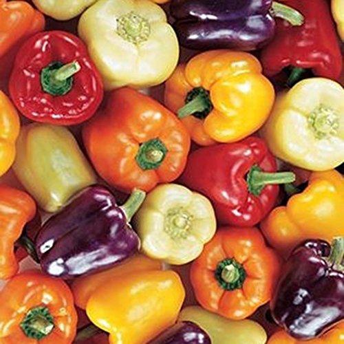 solo natural puro. sin productos qu/ímicos ni ingenier/ía gen/ética 25 semillas muy afiladas de Portugal HabaneroOrange 100/% naturales