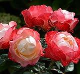 abbondante fioritura ottimo per aiuole o in vaso colore bianco/rosso fioritura da giugno a novembre spedizione gratuita