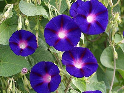 Grandpa OTT Morning Glory Purple Flower Annual Vine bin178 (1 Gram, or 20 Seeds)