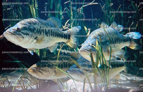 """8"""" ~ Large Mouth Bass Fish Birthday ~ Edible Cake/Cupcake Topper - d7955"""