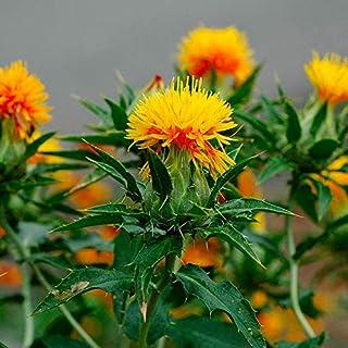 AIMADO Samen-10 Pcs Bio Färberdistel Samen,Wildfutter für Vögel oder heimische Nager,kräftige Sommerblume Blumensamen schnellwachsend für Bonsai Garten