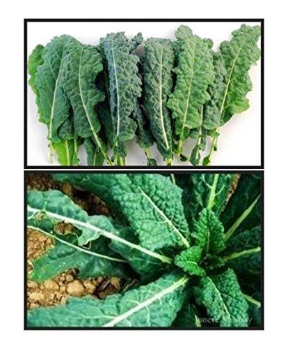 Kale (Futter Premier) Samen Non-gvo ** USA ** NICHT China
