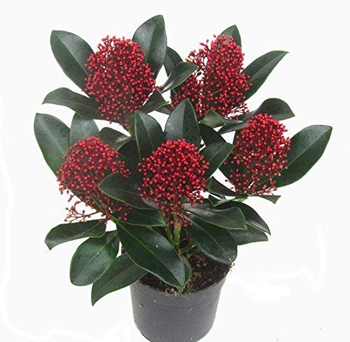 Skimmia japonica Rubella - japanische Blütenskimmie - winterharter, wintergrüner, blühender Strauch 10 cm Topf als Kübelpflanze - für Balkon, Terrasse, Garten, klein bleibend