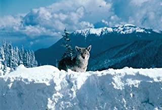 Coyote at Hurricane Ridge #706-Olympic National Park-Goodall Christmas Cards