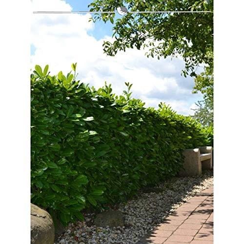 Großblättriger Kirschlorbeer 120-140 cm. Angebot: 10-150 Heckenpflanzen. Prunus laurocerasus Rotundifolia: pflegeleicht, schnittverträglich & blickdicht. Immergrüne Kirschlorbeerhecke | Inkl Lieferung