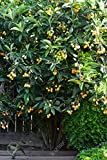Loquat Tree (Eriobotrya Japonica), Live Tree, Japanese Plump Golden Color Fruit Tree (10-15 Inches)
