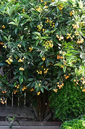Loquat Tree (Eriobotrya Japonica), Live...