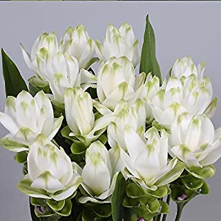 3 Plants Bulbs Pratumrat with White Rim Siam Tulip Curcuma Alismatifolia Tropical Fresh and Viable