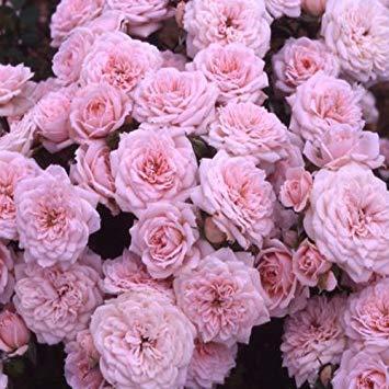 Shop Meeko Diamante Rosa Wishes-Diamond Anniversary, Regali di Nozze di Diamante