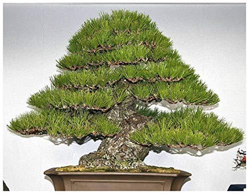 ScoutSeed 10 semillas de Pinus Thunbergii, pino negro japonés, semillas de bonsai C