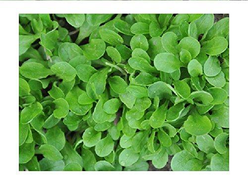 Lot de 100 graines de mâche verte à coeur plein - salade du potager
