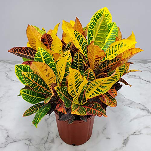 Product Image 2: Croton Petra Plant – Tropical Foliage Plant Live – 3 Gallon Pot – Overall Height 20″ to 24″ – Tropical Plants of Florida (Plant Only)