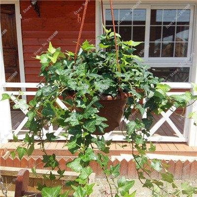 Coloré Hanging Parthenocissus tricuspidata semences vivaces herbes de fleurs Pot plantes anti-radiations des rayons ultraviolets 50 Pcs 4