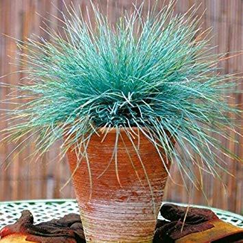 100 Samen/Packung Blue Fescue Grass Seeds - (Festuca glauca) mehrjähriges, winterhartes Ziergras, so einfach zu züchten