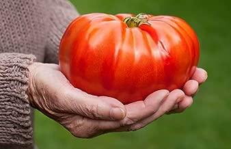 Seeds Tomato Russian Hercules Hero Giant Vegetable Organic Ukraine