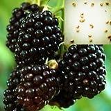 50seeds / bag Lamponi semi, balcone in vaso, stagioni di semina, spuntano il 95% (Rosso Nero Giallo lamponi)