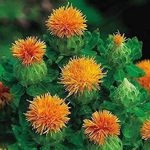 5 Stück Safran Zwiebel Distel Safran Krokus Blume Seltene Blume Blumenzwiebeln