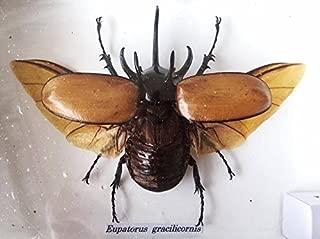 framed hercules beetle