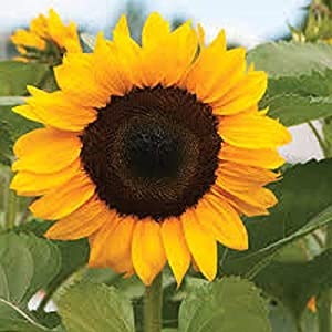 Sunflower - Giant Yellow 3 metre Plus by Pretty Wild Seeds 100 Seeds