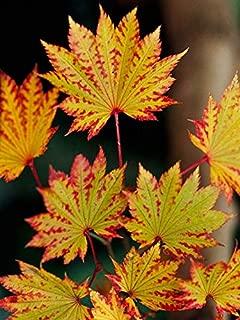 Autumn Moon Fullmoon Japanese Maple 3 - Year Live Plant