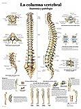 3B Scientific VR3152UU Impreso En Papel, la Columna Vertebral, Anatomía y Patología