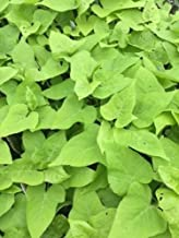 Ornamental Sweet Potato, Marguerite - 12oz Pot - Live Plant +!
