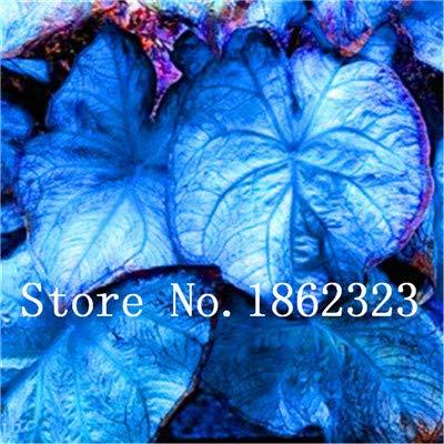 GEOPONICS SEEDS: Verkauf! 100 Stück Caladium Bonsai Caladium Blumen Bonsai Zimmerpflanzen Bonsai Colocasia Anlage für Hausgarten-Topfpflanze: 3